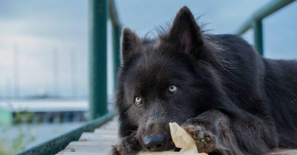 What Is a Blue Bay Shepherd