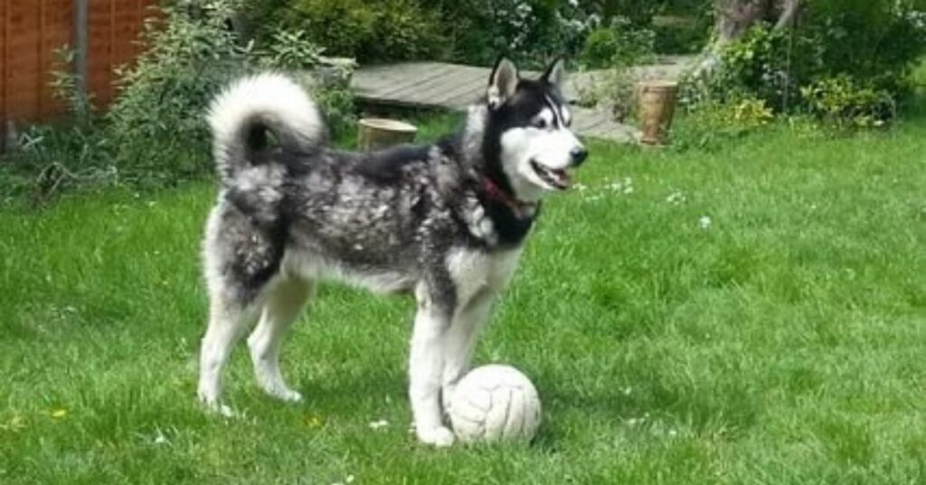 What Can a Siberian Husky Do?