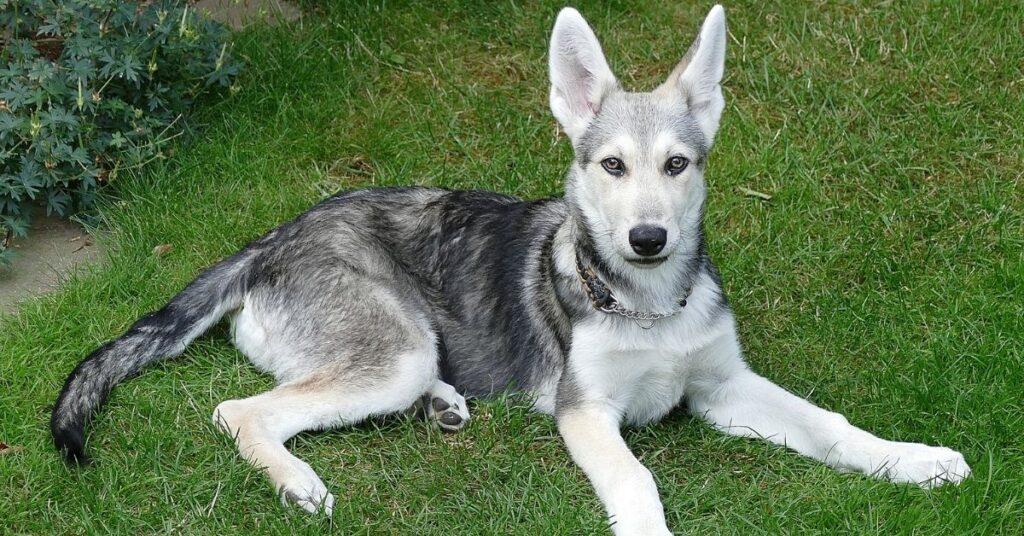 Where to Find a Saarloos Wolfdog in Alaska