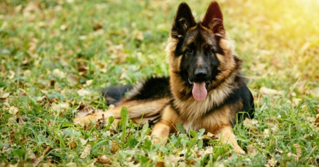 The German Shepherd Is a Good Family Dog