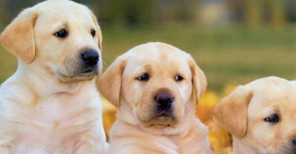 What Problems Do Labradors Have?