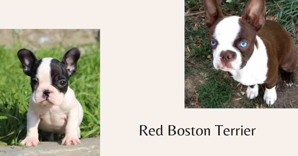 How do Big Do Red Boston Terriers get?