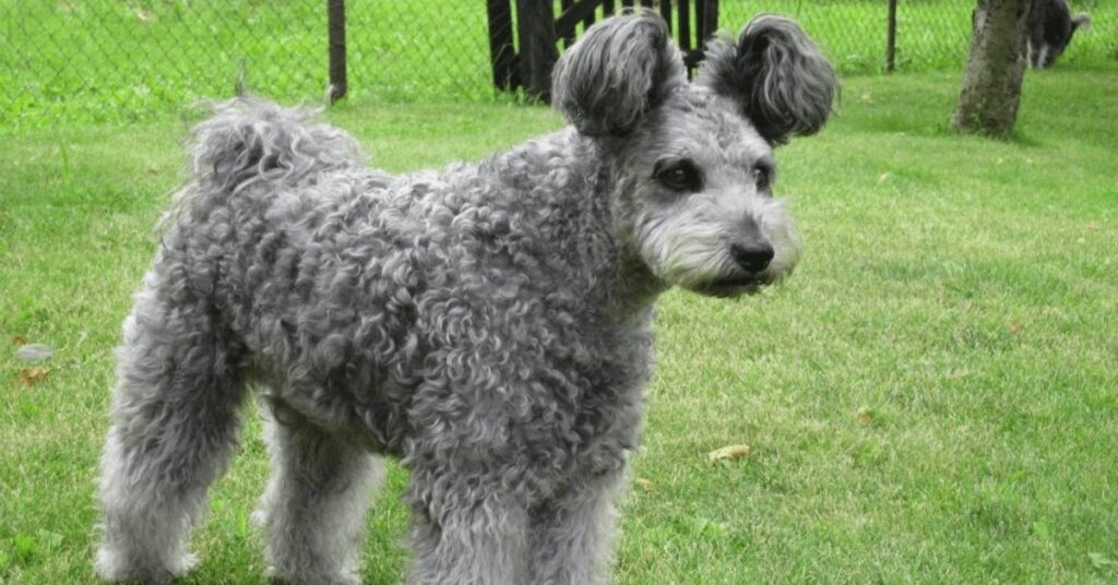 Do Pumi Dogs Shed?