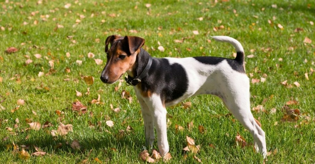 Are American Hairless Terriers Good Family Dogs?