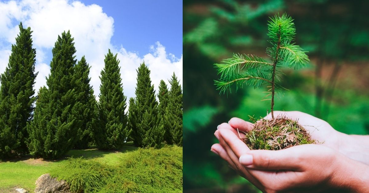 Are Pine Trees Easy to Grow?