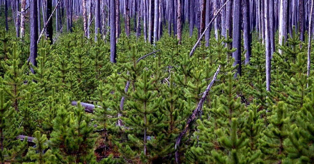 Take For Pine Tress To Reach Maturity