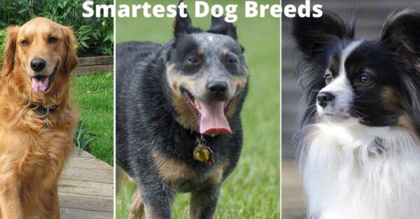 Smartest Dog Breeds -Which Dog Breed Is Most Intelligent?