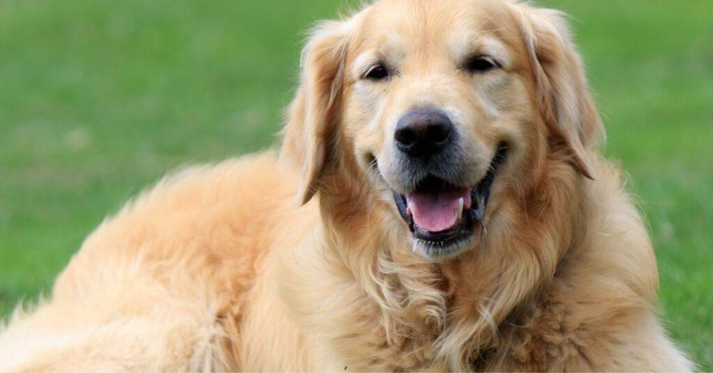 Do Golden Retrievers Bark a Lot?