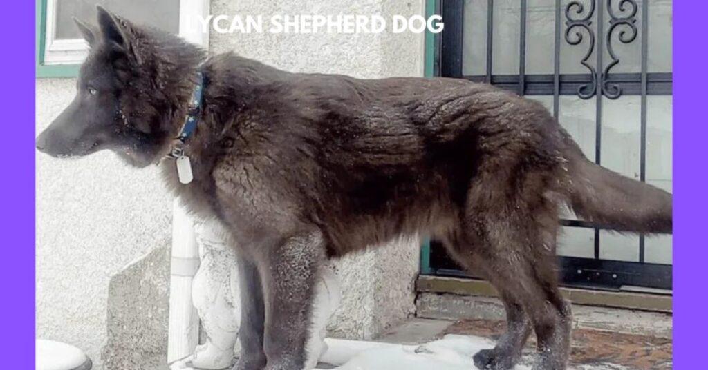 Lycan Shepherd  Dog