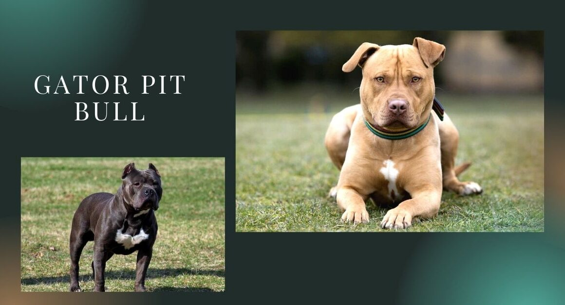 What Is a Gator Pitbull, Basically?