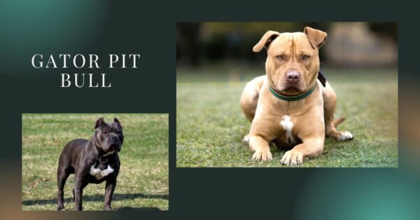 A Gator pit bull with a specific bloodline