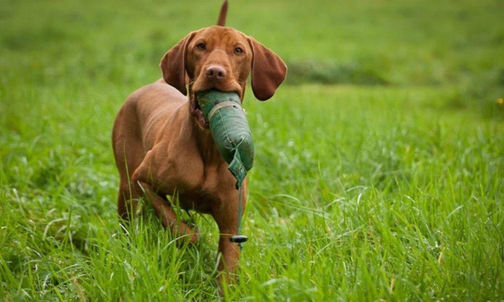 Facts About Vizsla Puppies