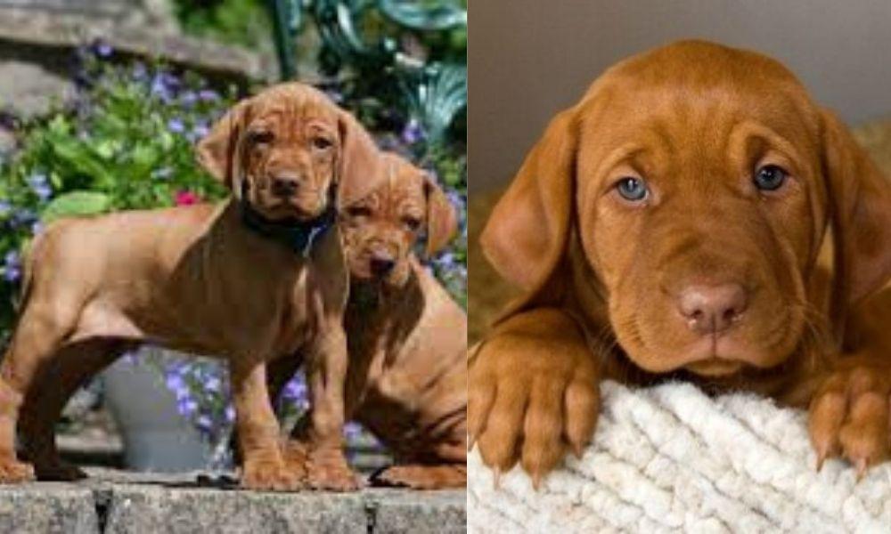 Vizsla Puppies Colour