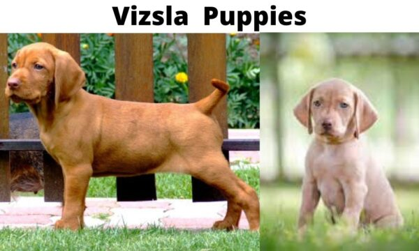 Everything to know about Vizsla puppies